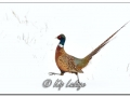 Rooster Ring-necked Pheasant in Snow (605197)