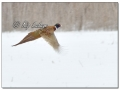 Rooster Ring-necked Pheasant in Snow (605205)