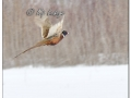 Rooster Ring-necked Pheasant in Snow (605207)