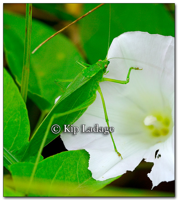 katydid-on-bindweed-272475