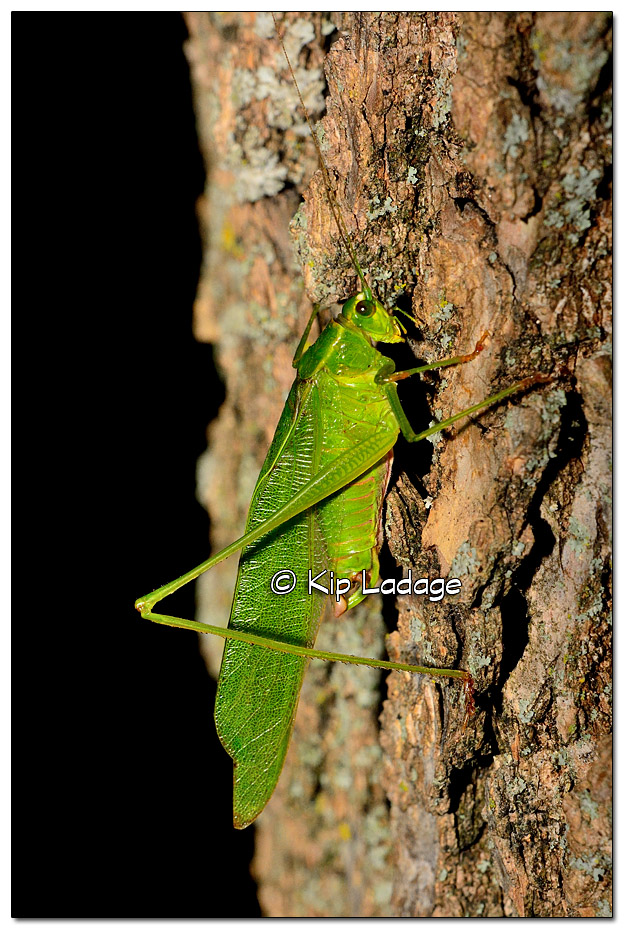 katydid-on-tree-338446