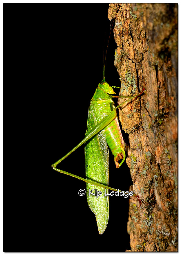 katydid-on-tree-338452