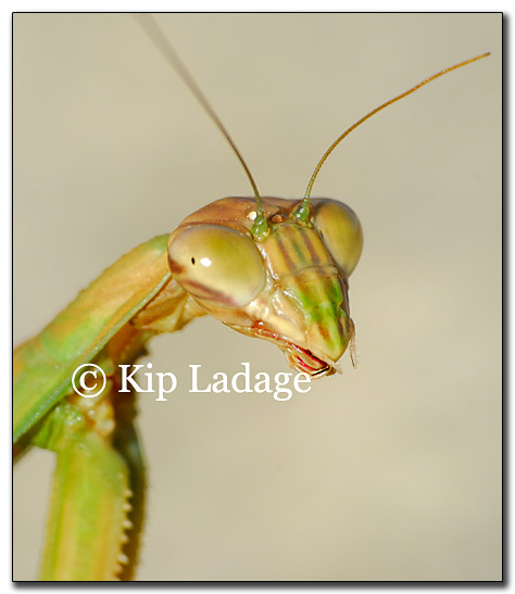 praying-mantis-173550