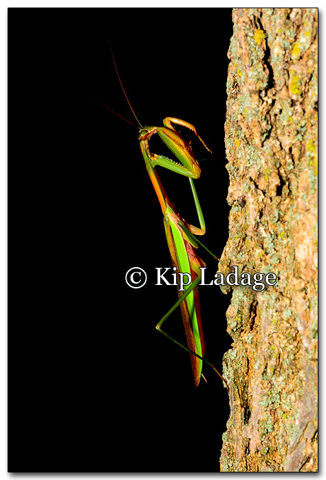 praying-mantis-223976
