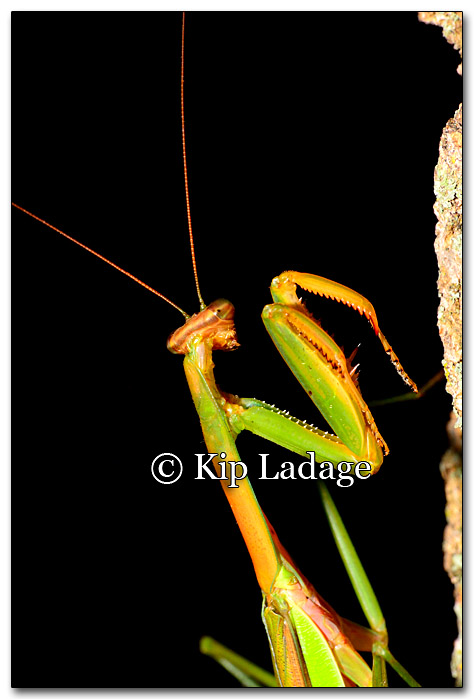 praying-mantis-223979