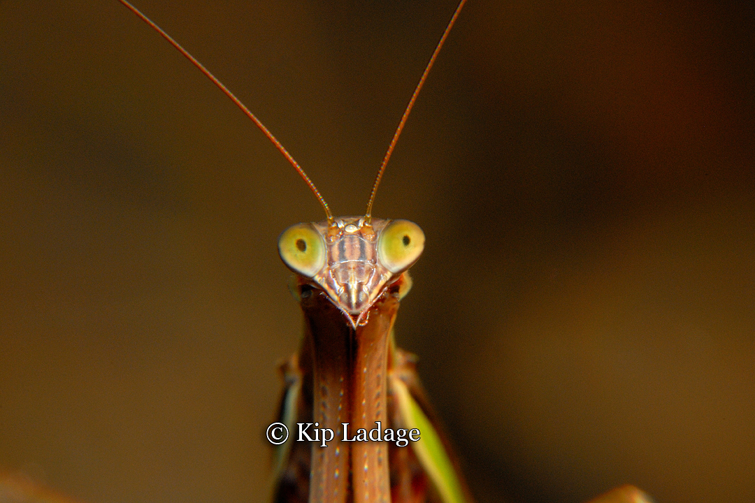 praying-mantis-39526