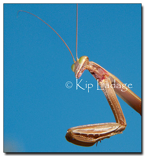 praying-mantis-39578
