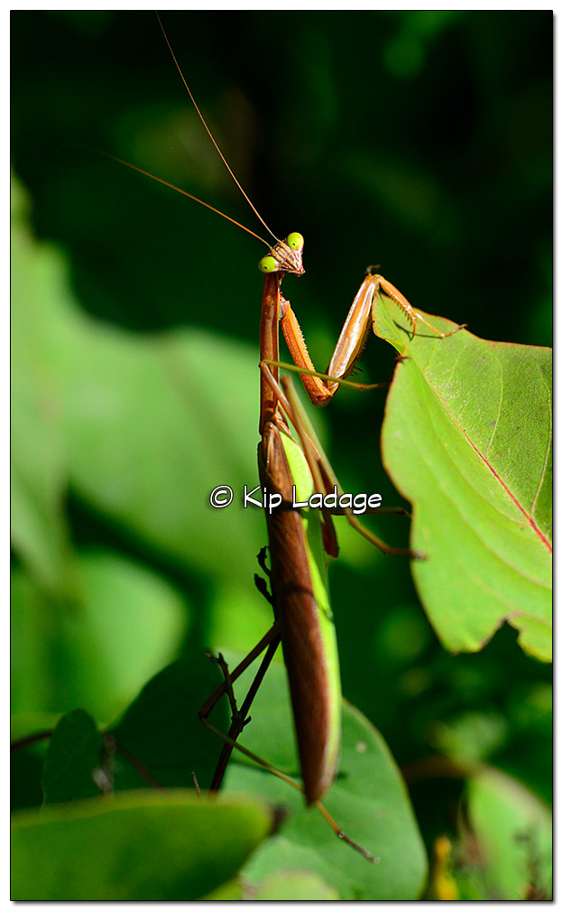 praying-mantis-460943