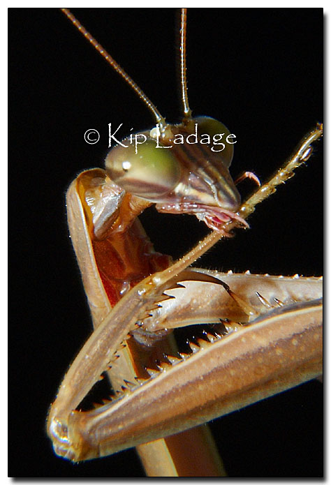 praying-mantis-tonuge