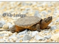 Snapping Turtle (508900)