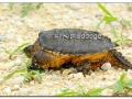 Snapping Turtle (508927)