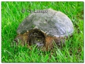 Snapping Turtle at Hickory Hills Park (507514)