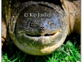 snapping-turtle-264423