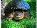 snapping-turtle-264431