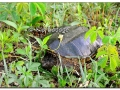 snapping-turtle-447652