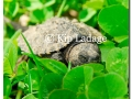 turtle-snapping-hatchling-79126