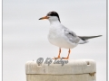 Forster's Tern on Buoy (581355)