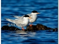 forsterns-terns-at-sweet-marsh-315418