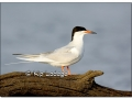forsters-tern-at-sweet-marsh-372235