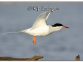 forsters-tern-at-sweet-marsh-372236