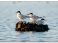 forsters-tern-at-sweet-marsh-436392