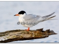 forsters-tern-on-log-438938