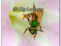 green-insect-in-bindweed-217125