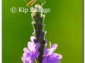 insect-on-blue-vervain-163990