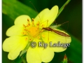 insect-on-cinquefoil-215739
