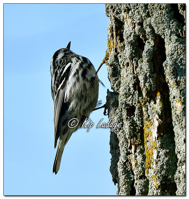 Black and White Warbler (564020)