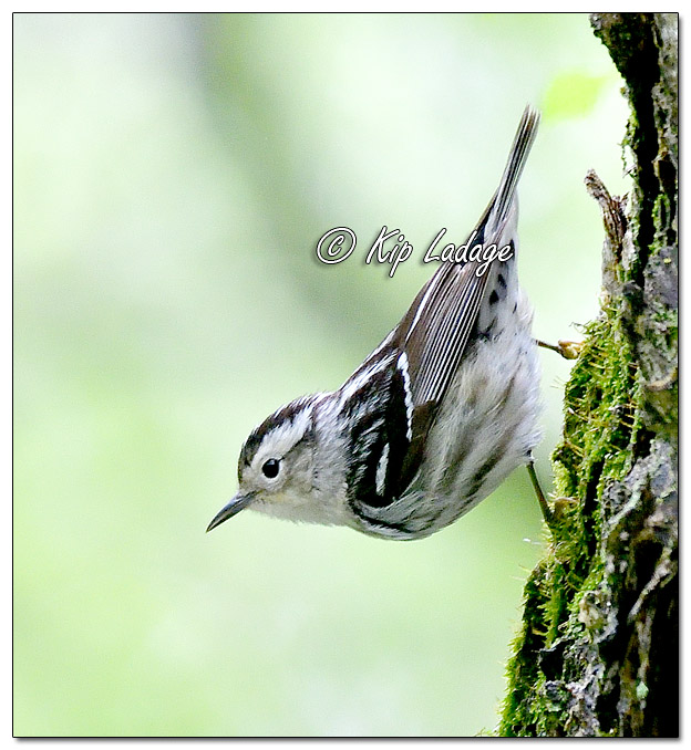 Black and White Warbler (568582)