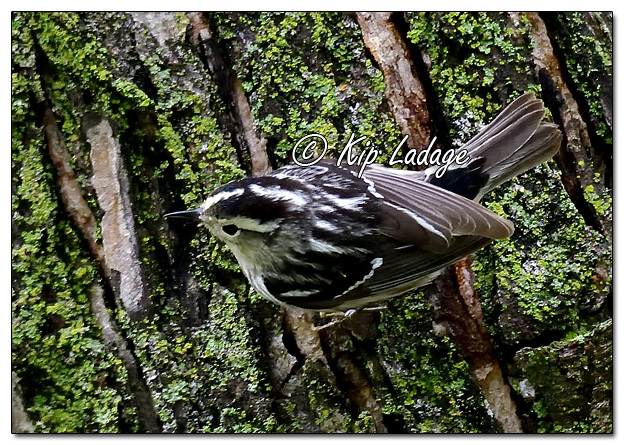 Black and White Warbler (568594)