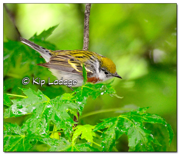 Chestnut-sided Warbler in Tree (506619)