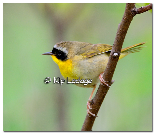 Common Yellowthroat at Sweet Marsh (504135)