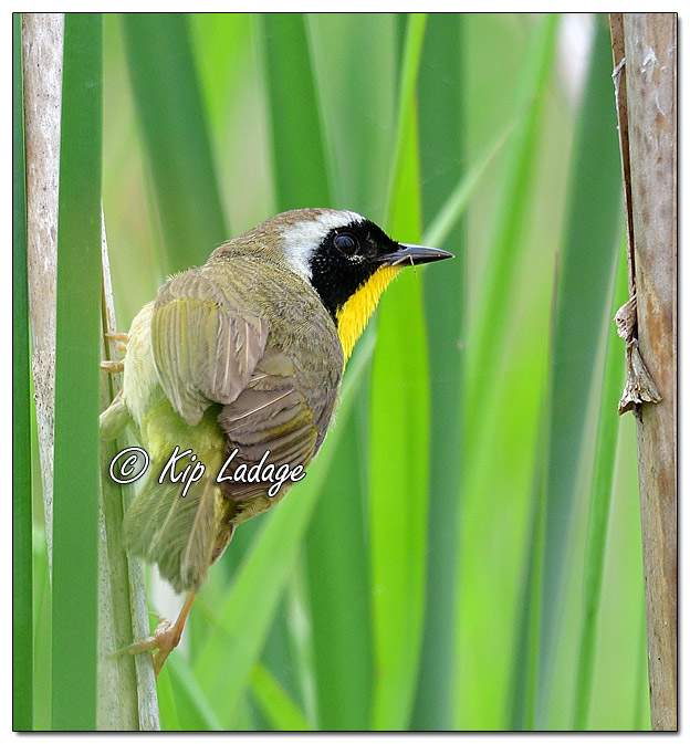 Common Yellowthroat at Sweet Marsh (570690)