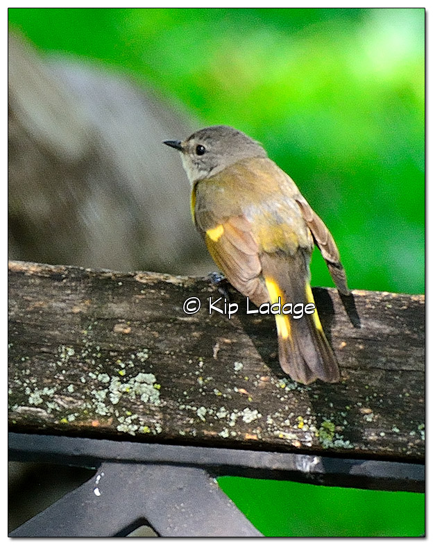 Female American Redstart (505076)