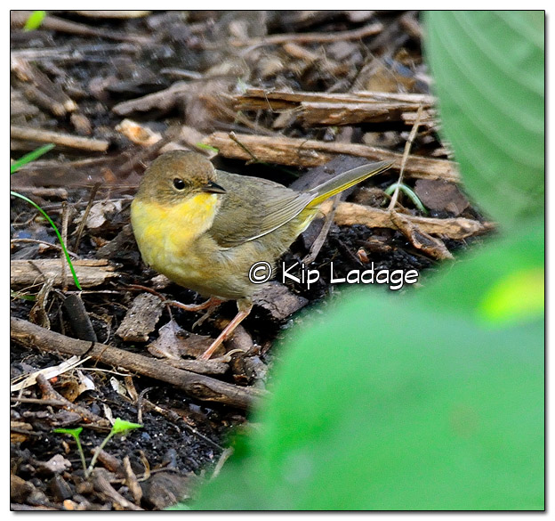 Female Common Yellowthroat (506687)