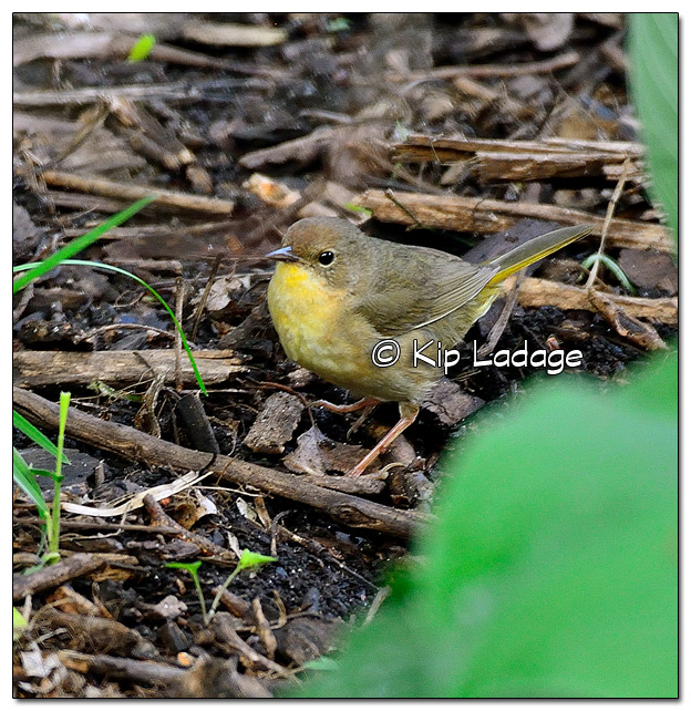 Female Common Yellowthroat (506688)