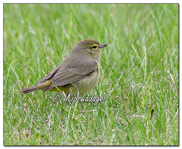 Juvenile Female Common Yellowthroat (563980)