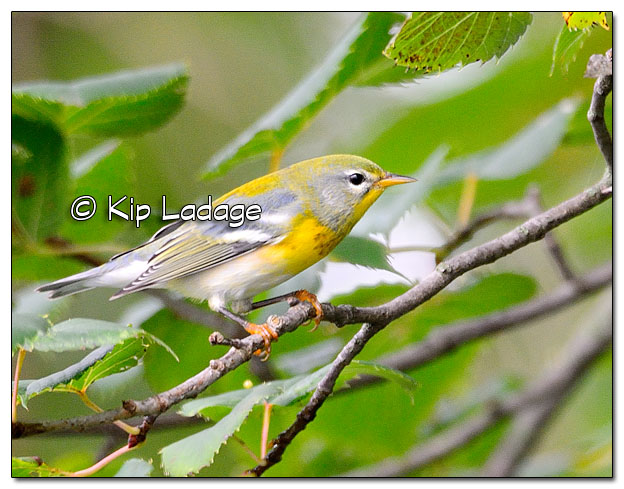 Northern Parula Warbler at Casey Lake (522274)
