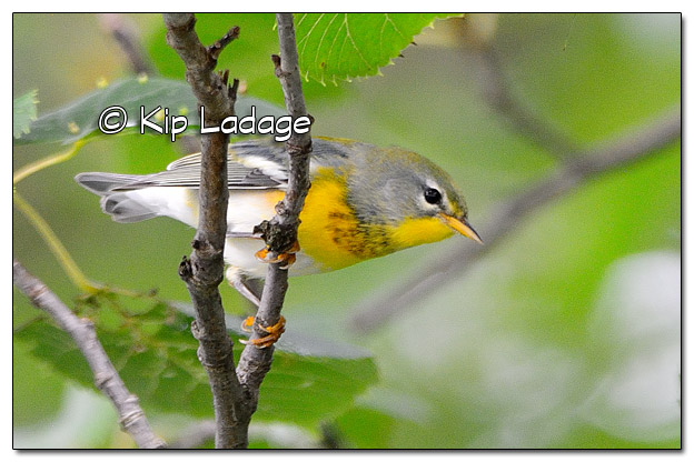 Northern Parula Warbler at Casey Lake (522276)