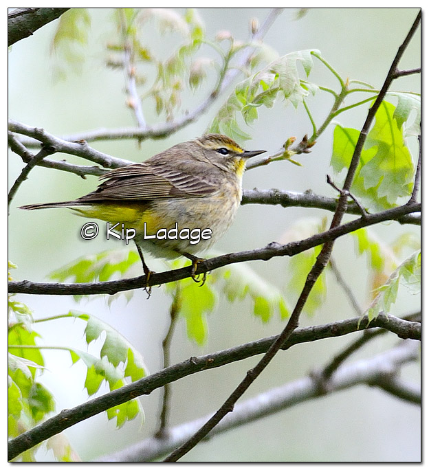 Palm Warbler at Sweet Marsh (504352)