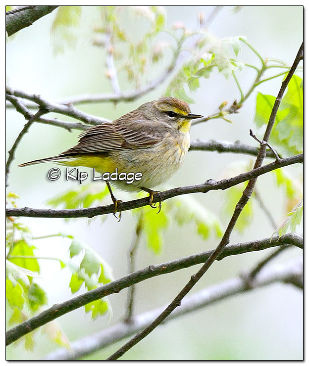 Palm Warbler at Sweet Marsh (504355)