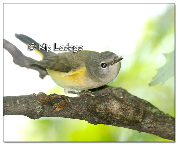 Second Year Male American Redstart (524200)