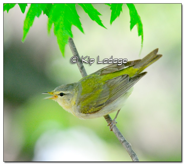 Tennessee Warbler in Tree (505243)
