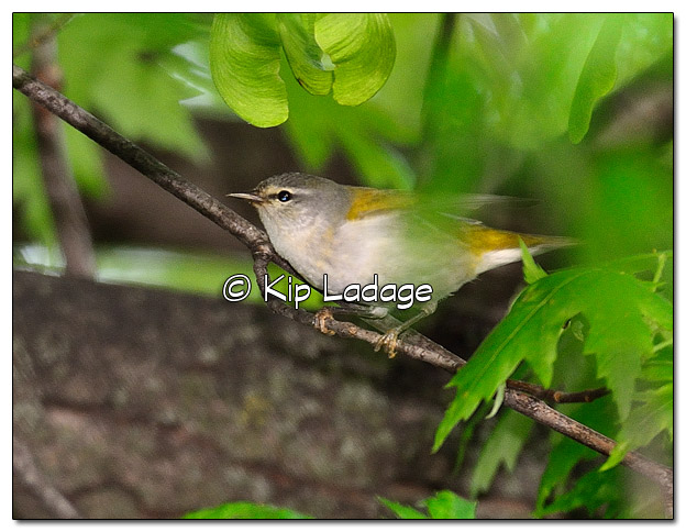Tennessee Warbler in Tree (505342)