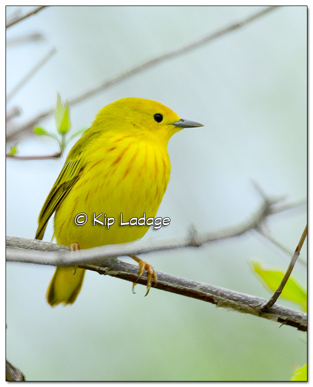 Yellow Warbler at Sweet Marsh (504877)