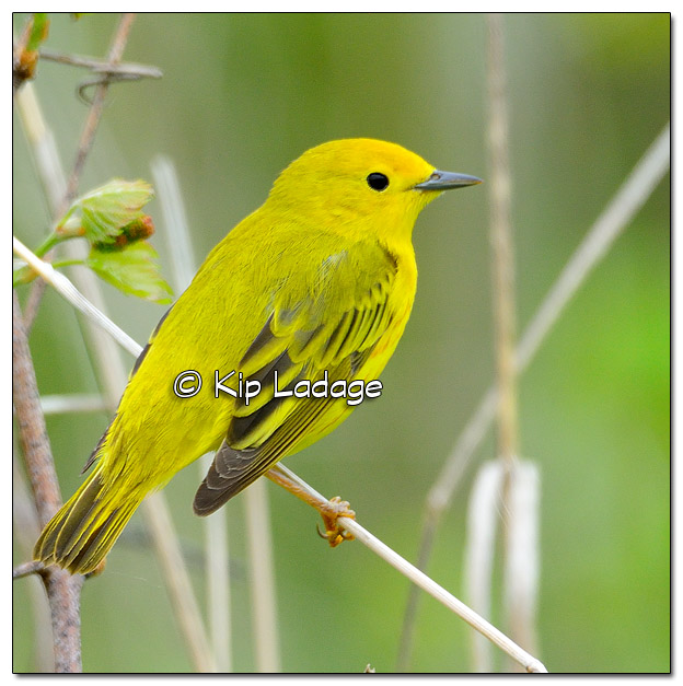 Yellow Warbler at Sweet Marsh (504910)
