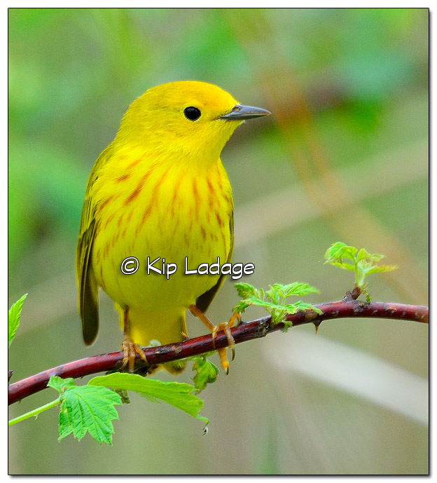 Yellow Warbler at Sweet Marsh (504920)