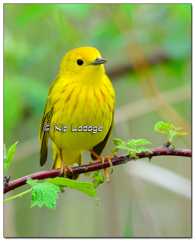 Yellow Warbler at Sweet Marsh (504939)